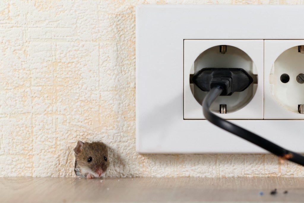 Rat peeps on a hole
